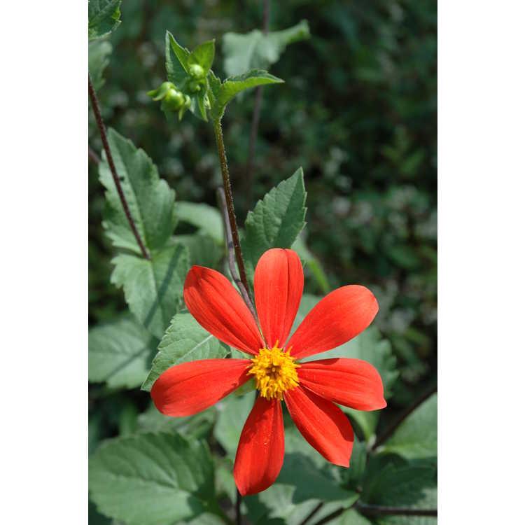 Dahlia coccinea - garden dahlia
