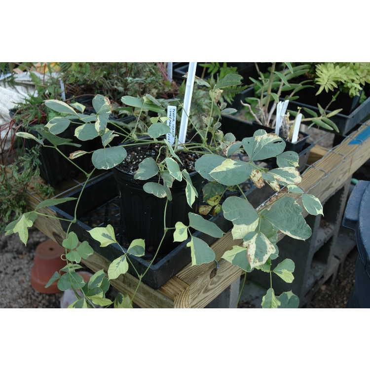 Pueraria montana var. lobata 'Sherman's Ghost' - variegated kudzu