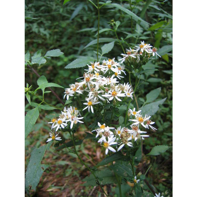 Eurybia divaricata - white woodland aster