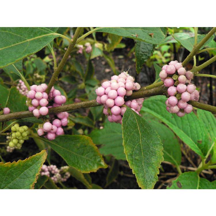 Callicarpa americana 'Welch's Pink' - pink American beautyberry