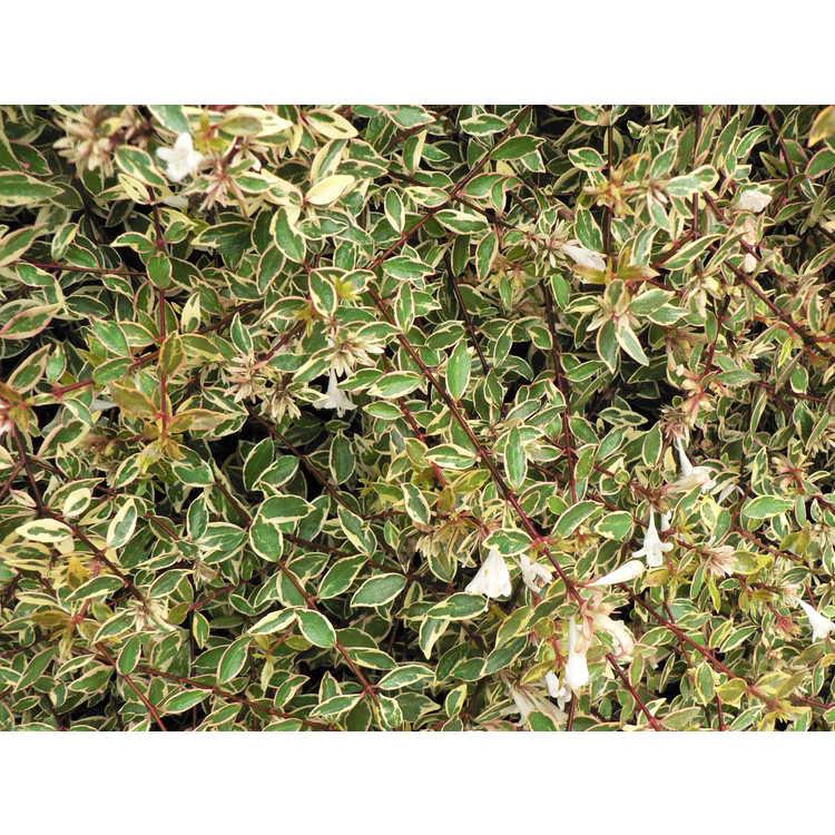 Abelia ×grandiflora 'Sunrise' - variegated glossy abelia