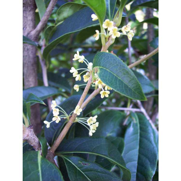 Osmanthus fragrans aurantiacus Butter Yellow
