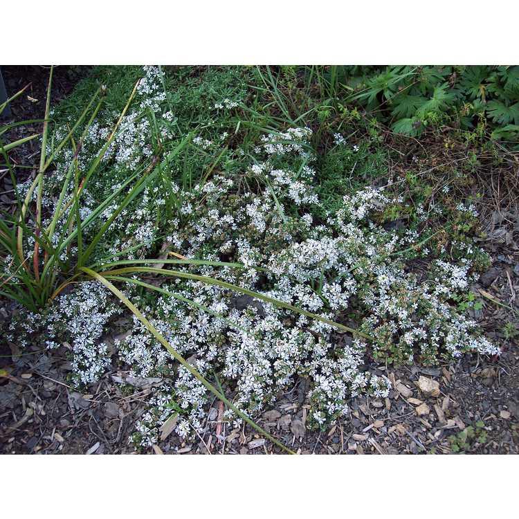 Symphyotrichum ericoides Schneegitter