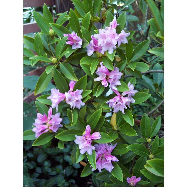 Rhododendron latoucheae - Mrs. Wilson's rhododendron