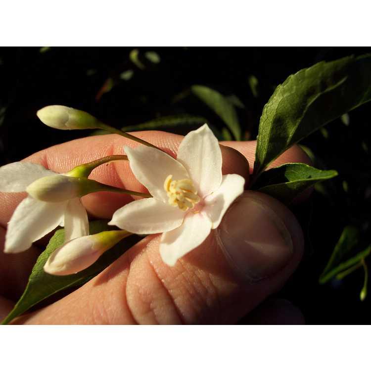 Styrax japonicus Rubra Pendula