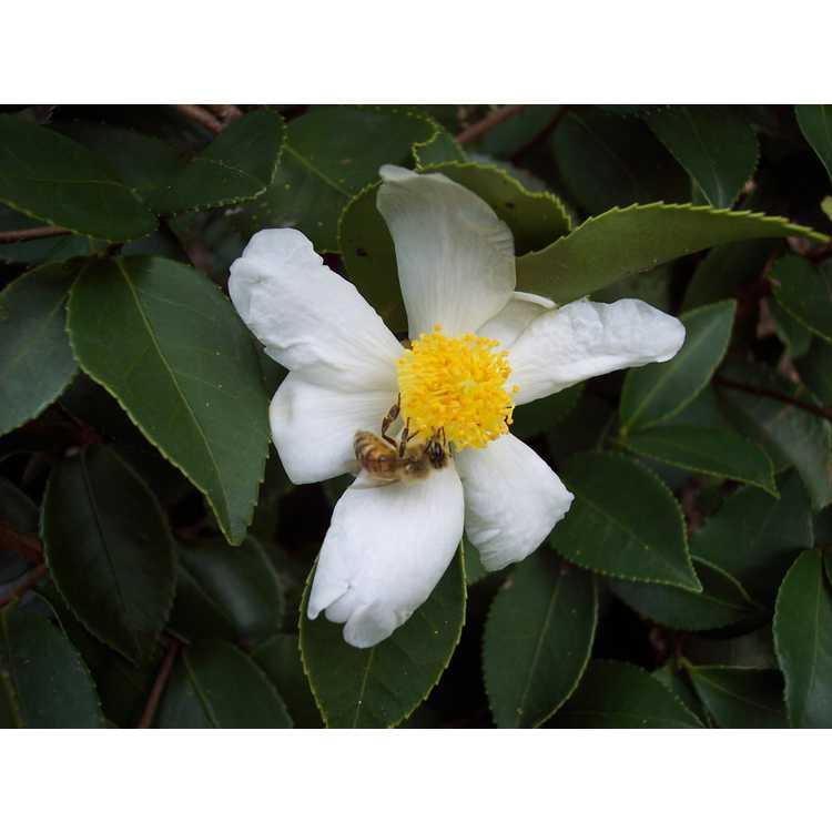 Camellia oleifera × C. sasanqua - hardy camellia
