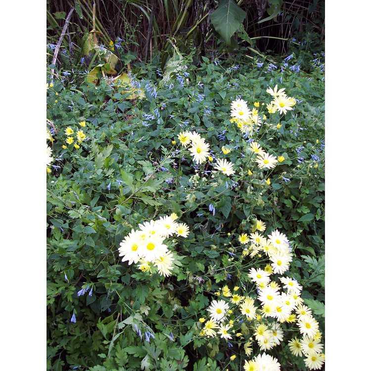 Salvia coerulea Argentine Skies