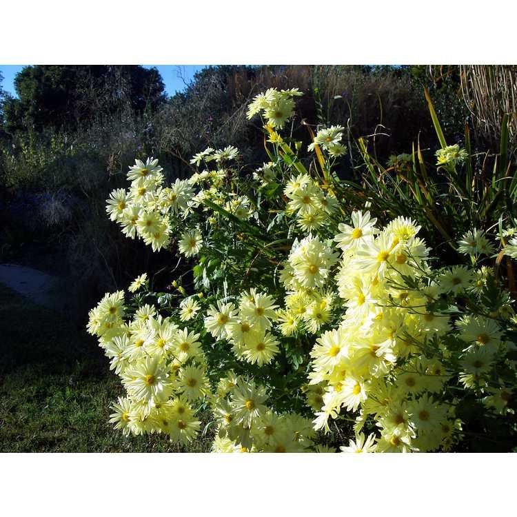 Chrysanthemum 'Gethsemane Moonlight'