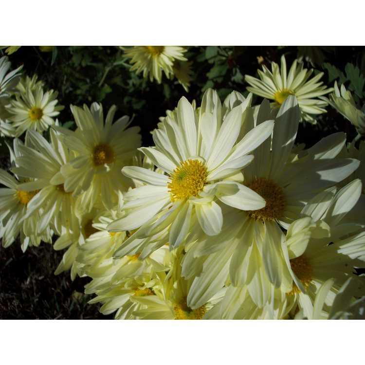 Chrysanthemum 'Gethsemane Moonlight' - garden chrysanthemum