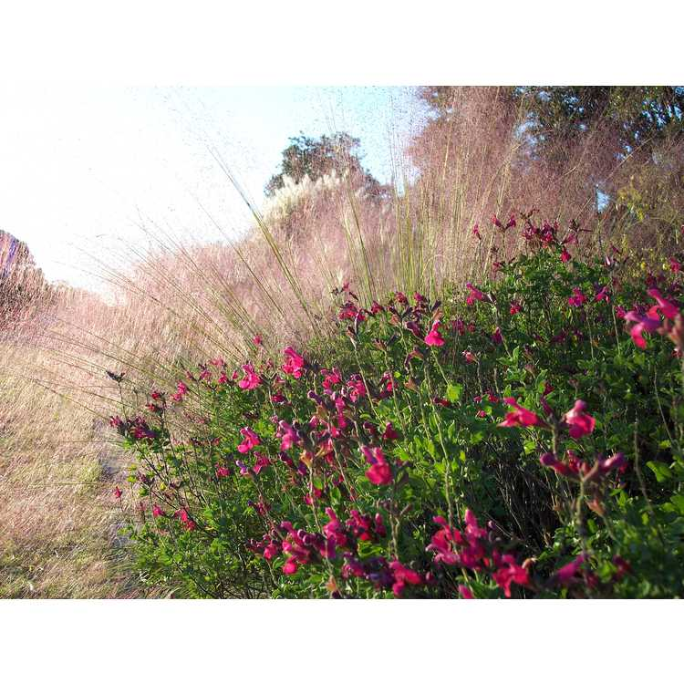 Salvia microphylla San Carlos Festival