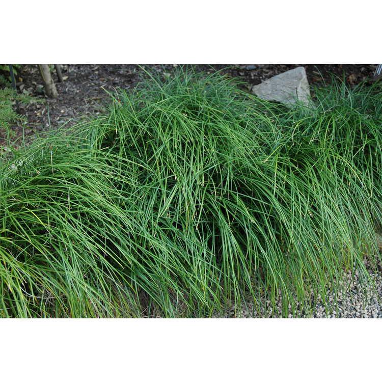 Ophiopogon clarkei - Himalayan mondo grass