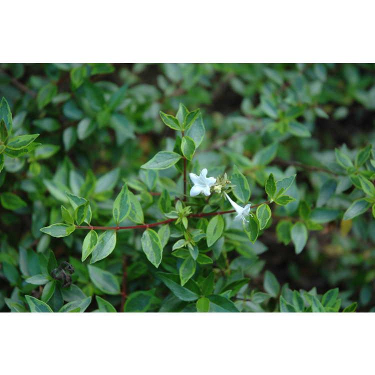 Abelia ×grandiflora 'Goldenglossy'