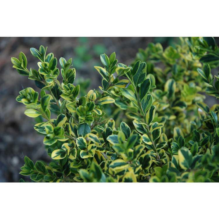 Buxus sinica var. insularis 'Sunburst'