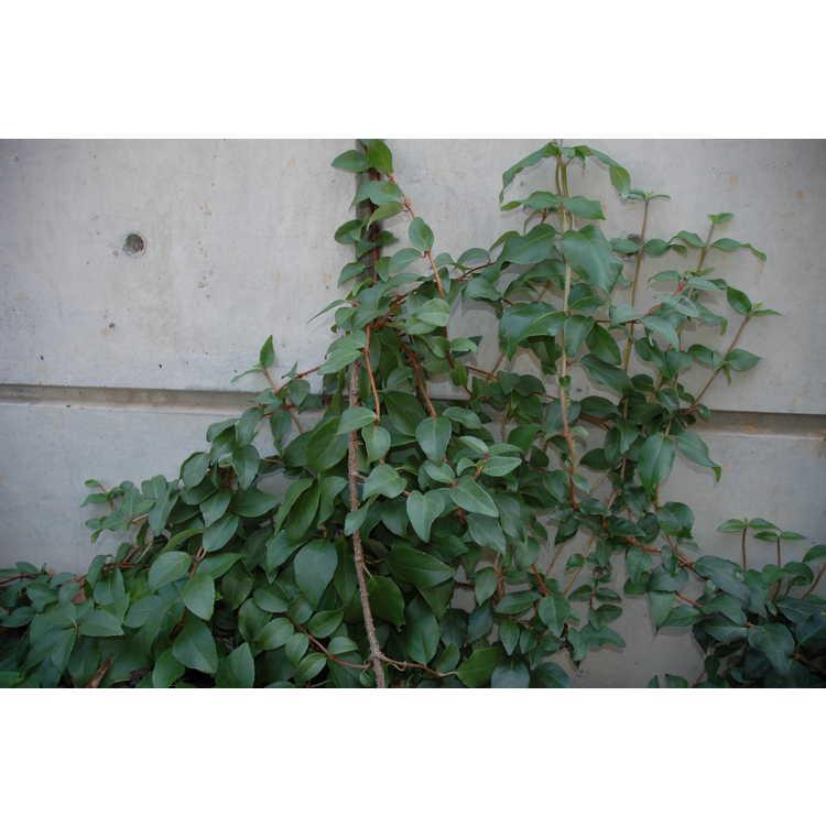 Decumaria sinensis - Chinese wood-vamp