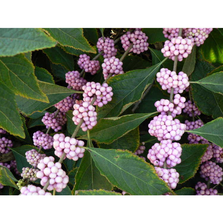 Callicarpa americana 'Welch's Pink'