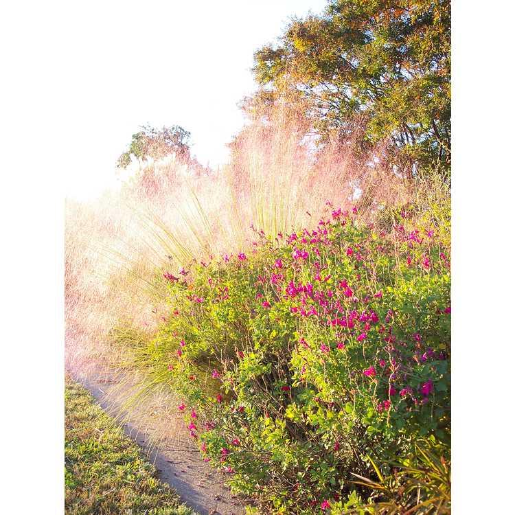 Salvia microphylla 'San Carlos Festival' - baby sage
