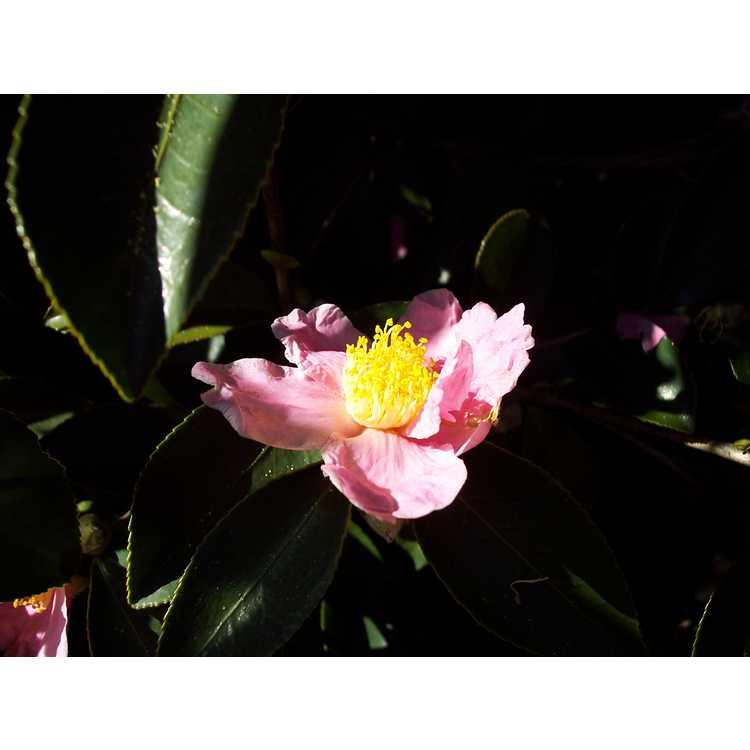 Camellia Carolina Moonmist