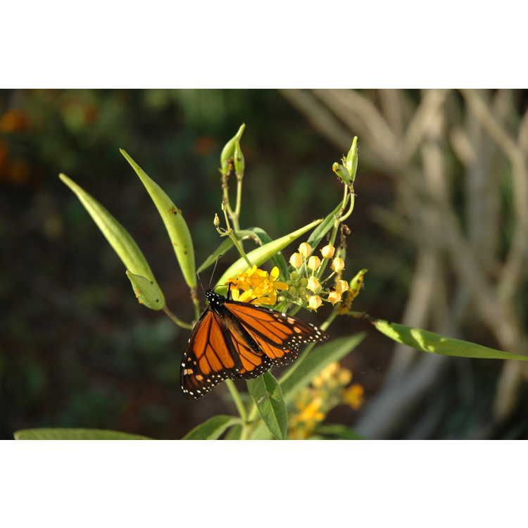 Asclepias tuberosa subsp. tuberosa - common butterfly-weed