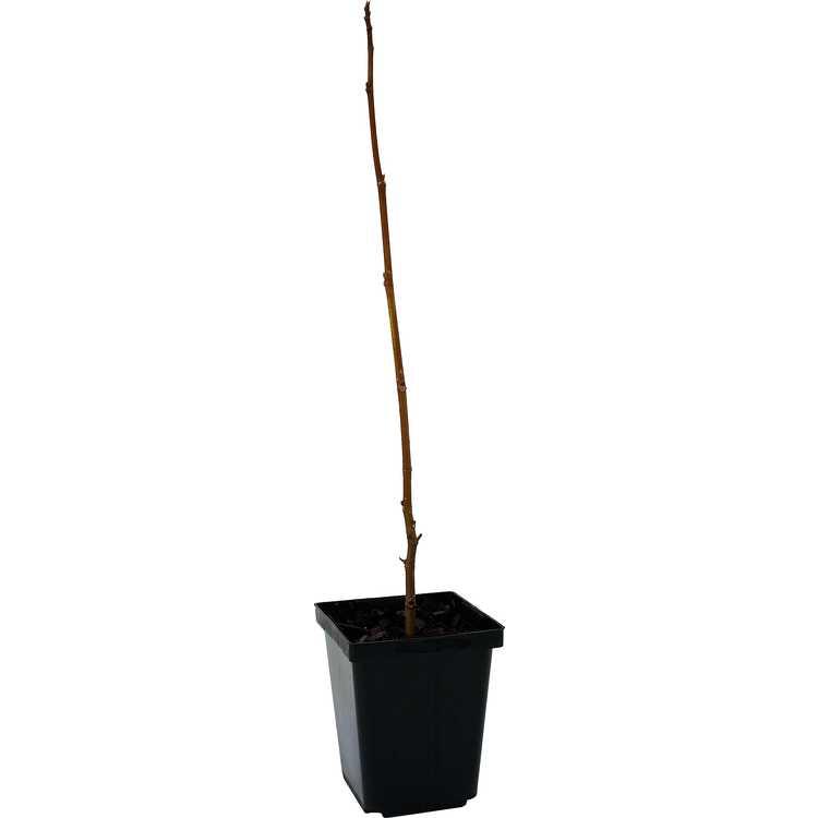 Ficus afghanistanica