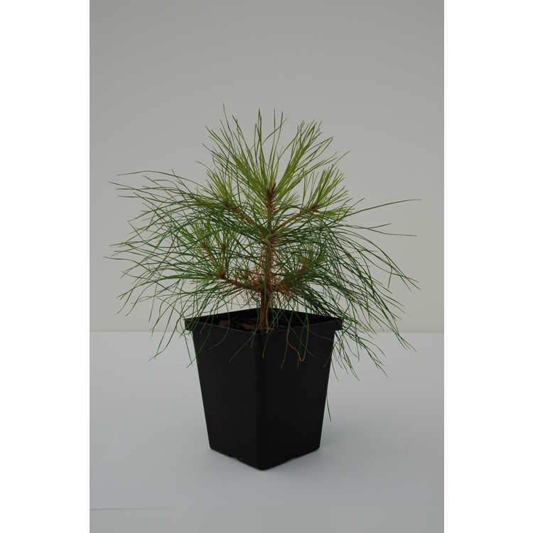Pinus taeda NCSU Dwarf Group - dwarf loblolly pine