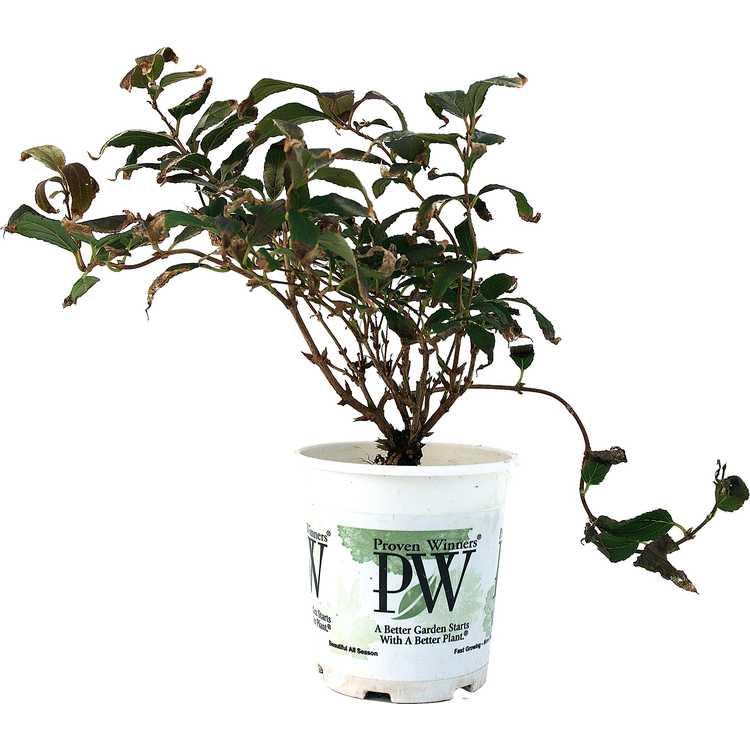 Deutzia gracilis 'Duncan'