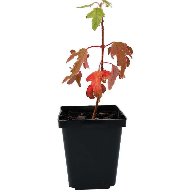 Acer ×freemanii (variegated form)