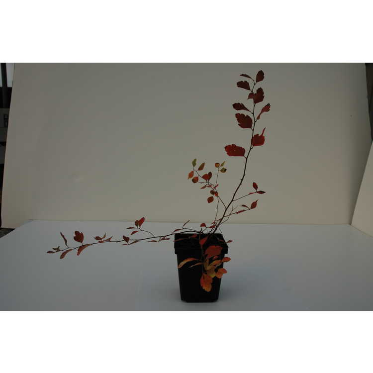 Spiraea crenata - scalloped spirea