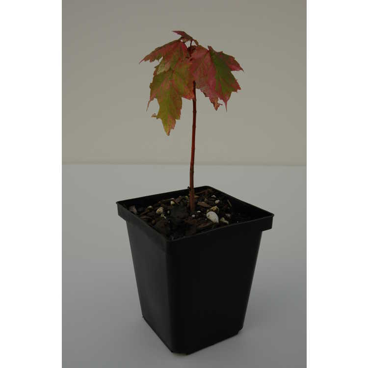 Acer rubrum 'Snow Fire'