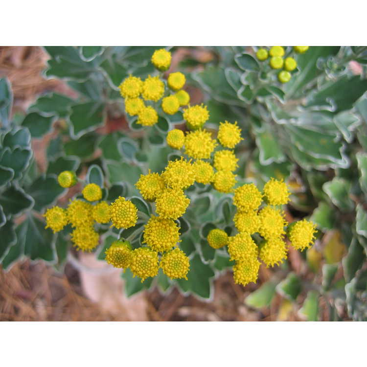 Ajania pacifica - silver and gold chrysanthemum