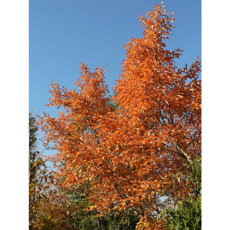 Lindera salicifolia - willowleaf spicebush