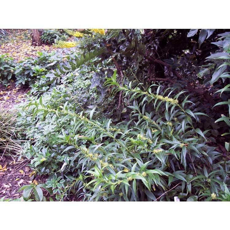 Sarcococca saligna - willow-leaf sweet box