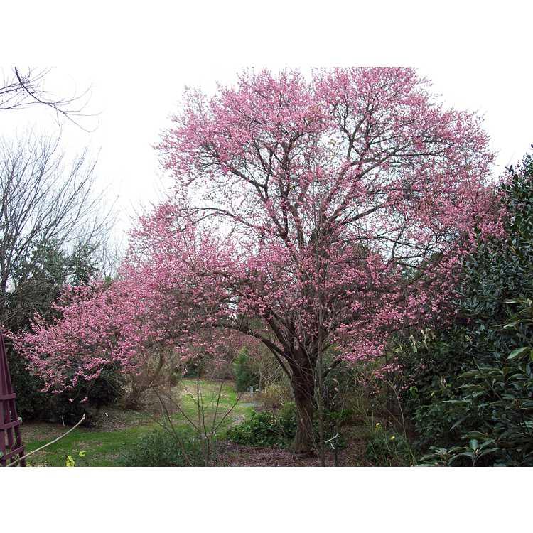 Prunus mume - Japanese flowering apricot