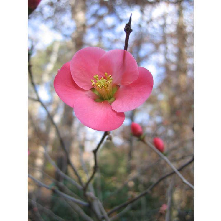 Chaenomeles speciosa - flowering quince