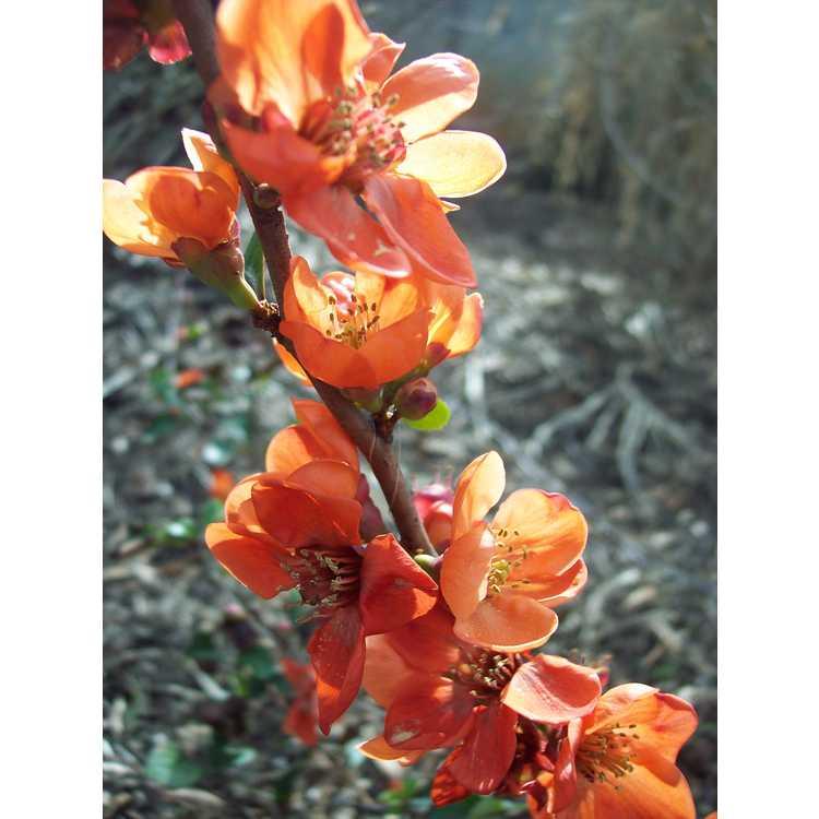 Chaenomeles japonica 'Pygmaea'