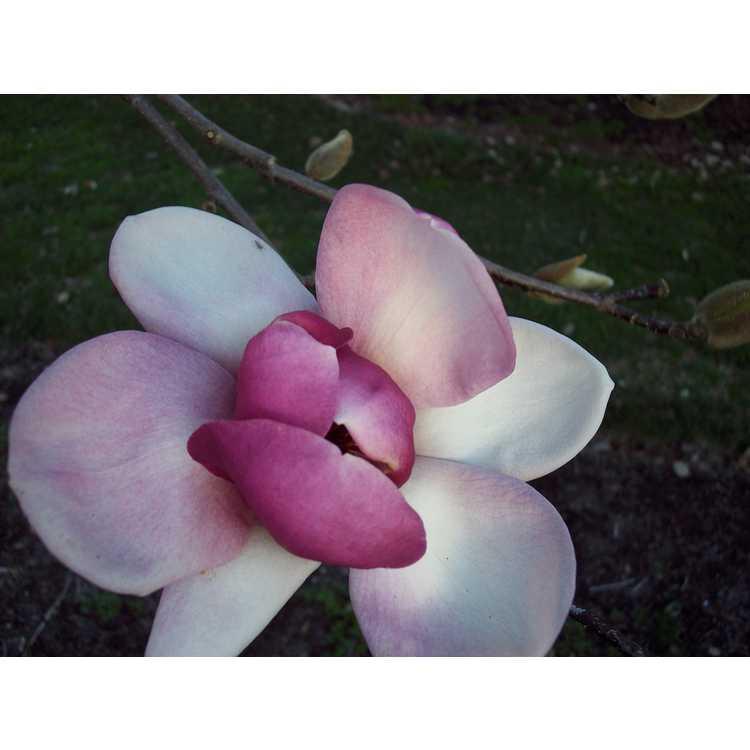 Magnolia denudata Forrests Pink
