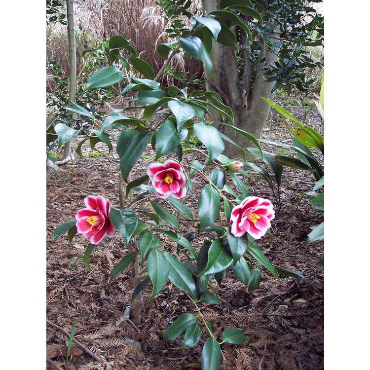 Camellia japonica 'Tama Peacock' - picotee Japanese camellia
