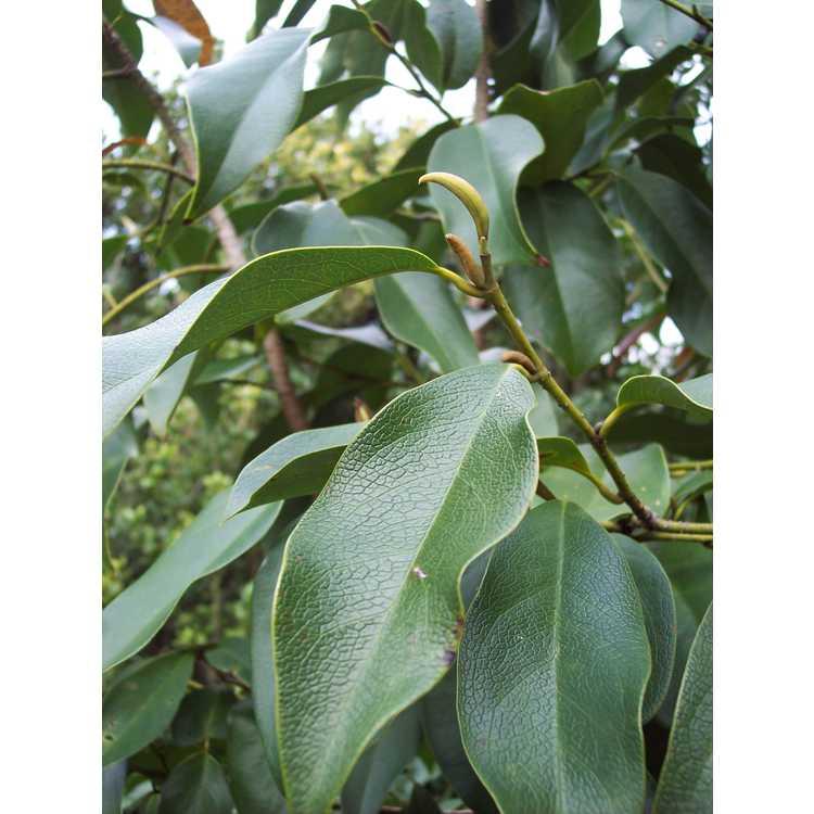 Magnolia ernestii - Wilson's michelia