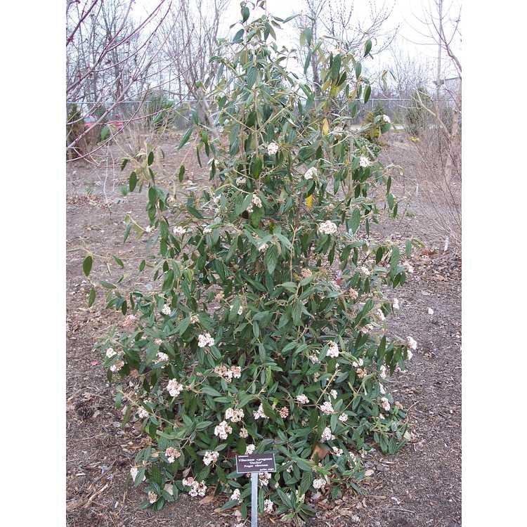 Viburnum ×pragense 'Decker' - Prague viburnum