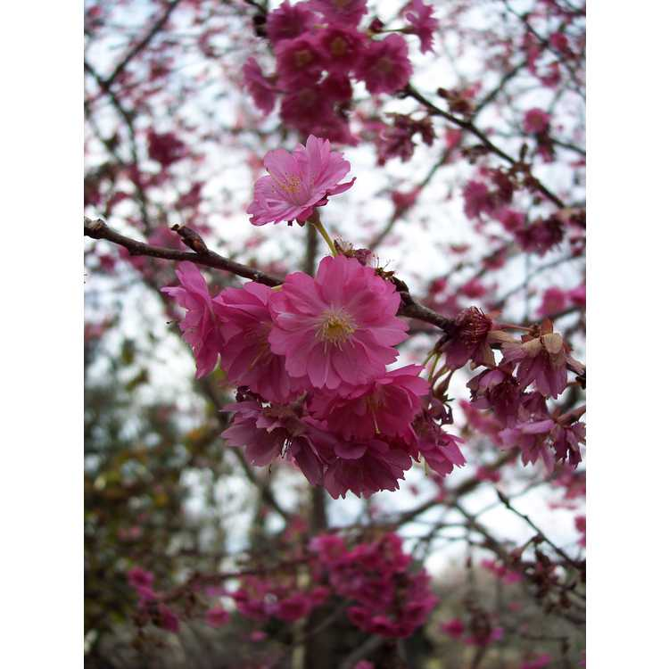 Prunus (NA 63480) - U.S. National Arboretum hybrid flowering cherry