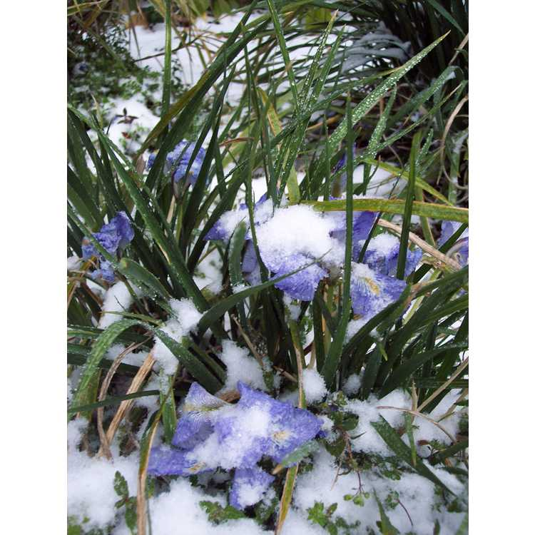 Iris unguicularis - winter flowering iris