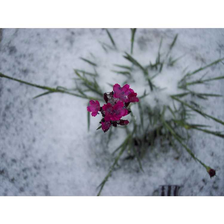 Dianthus giganteiformis pontederae