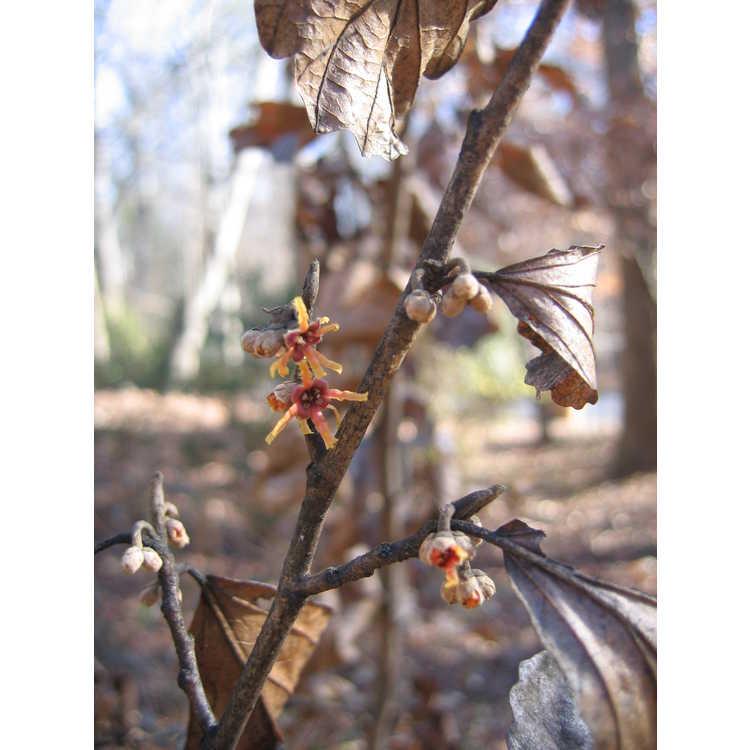 Hamamelis ×intermedia 'Ruby Glow' - red common witchhazel