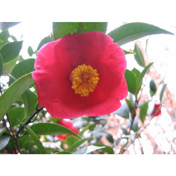 Camellia japonica - Japanese camellia