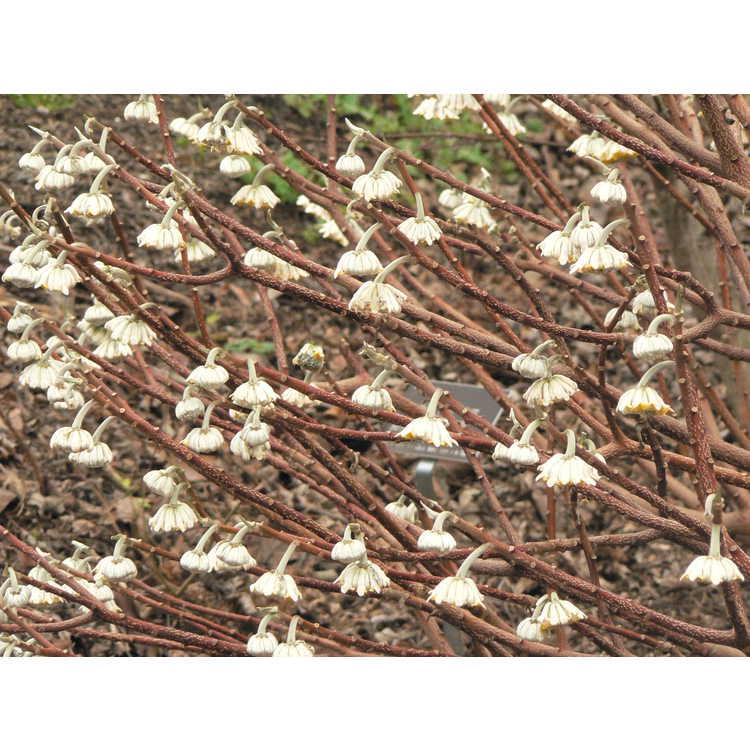 Edgeworthia chrysantha Winter Gold