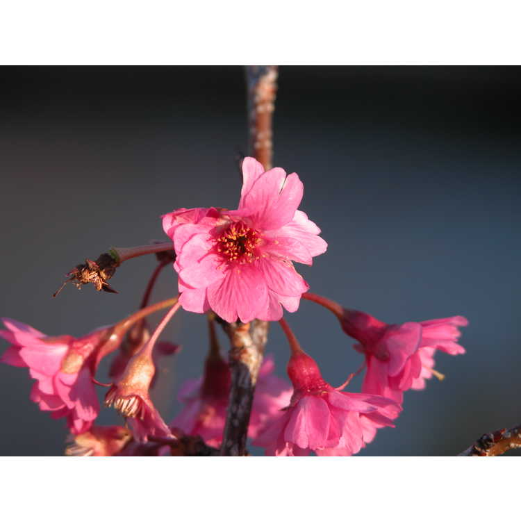 Prunus campanulata - Taiwan cherry