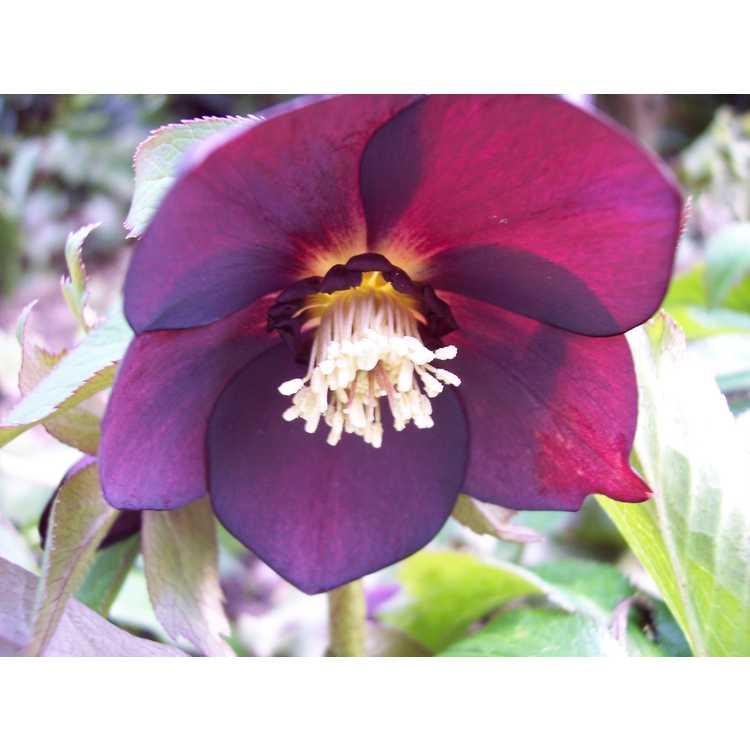 Helleborus ×hybridus (Ashwood Garden hybrids) - Lenten rose