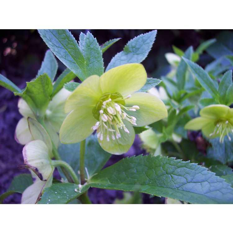 Helleborus odorus - sweet hellebore