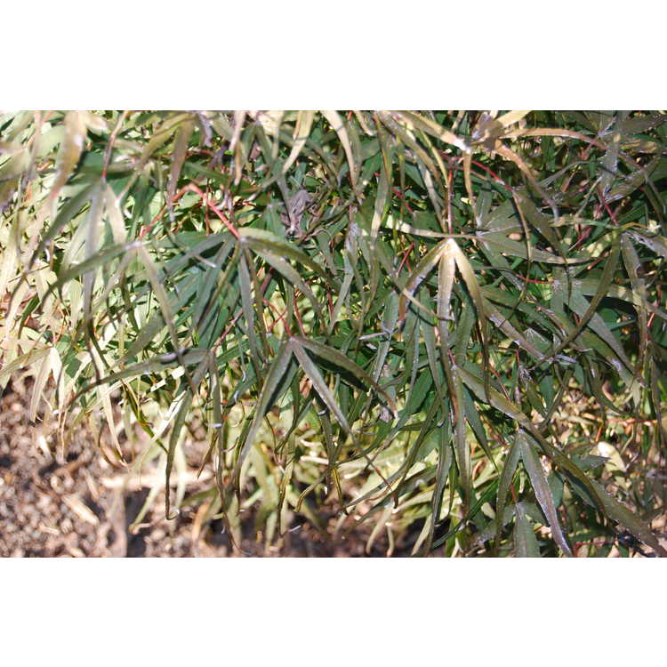 Acer palmatum 'Hubb's Red Willow' - purple narrowleaf Japanese maple
