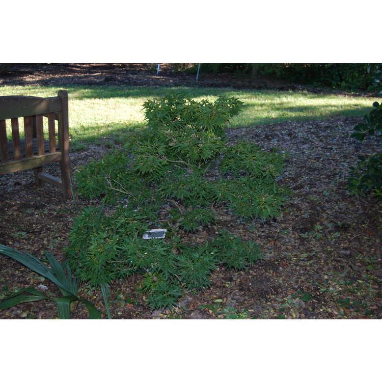 Acer palmatum 'Seigai'