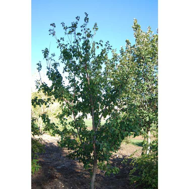 Acer stachyophyllum subsp. betulifolium